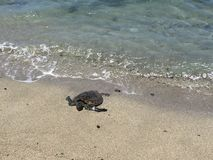 A beautiful turtle coming out of the water Royalty Free Stock Photography