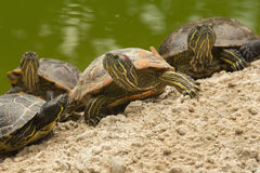 A beautiful turtle family Royalty Free Stock Photography