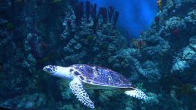 A beautiful turtle swims in slow motion. Beautiful underwater world. Screensaver and background. A beautiful turtle swims in slow motion. Beautiful underwater stock video footage