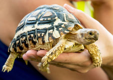 Beautiful turtle in a woman's hand Royalty Free Stock Photography