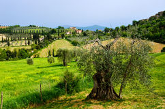 Beautiful Tuscany landscape and olive tree Royalty Free Stock Images