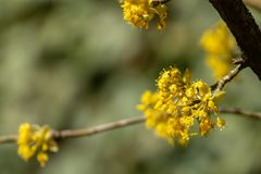 Beautiful twig with bright yellow flowers on blurred natural green background. Soft selective macro focus cornelian cherry blossom stock photo