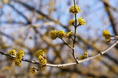 Beautiful twig with bright yellow flowers on blurred natural green background. royalty free stock photography