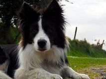 Lovely border collie watches attentive waiting for orders royalty free stock images