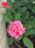 Beautiful two-colored rosebush stock photo