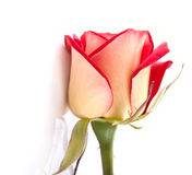 Beautiful two colors rosebud Stock Photo