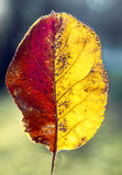 Beautiful two-tone autumn leaf. On a blue background Royalty Free Stock Photos