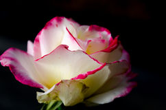 Beautiful of two tone rose flower on dark background Royalty Free Stock Photos