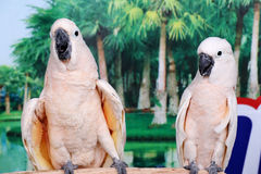 Beautiful two white parrots Royalty Free Stock Photo