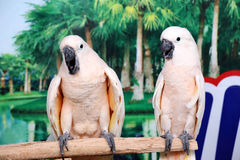 Beautiful two white parrots Stock Image