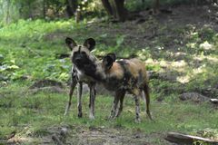Beautiful two wild african dogs playing in the woods stock photo