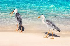 Beautiful two wild white heron on a beautiful fantastic beach in the Maldive Islands against the blue clear water Stock Images