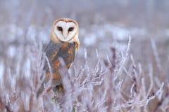 Beautiful Tyto alba Royalty Free Stock Images