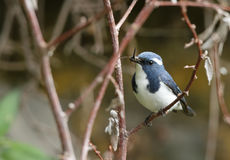 Beautiful Ultramarine flycatcher with feed Stock Photography