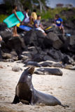 Beautiful unafraid sea lion sunbathing on the Stock Photos
