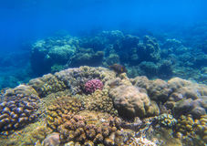 Beautiful undersea landscape with coral reef. Oceanic biosphere. Tropical fishes in wild nature. Clear blue shallow sea water wildlife. Sea bottom with coral Stock Photography