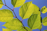 Beautiful underside of green leaves against brilliant blue skies Royalty Free Stock Photography