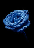 Beautiful underwater blue rose Royalty Free Stock Image