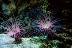 Beautiful underwater cerianthus anemone on the ocean floor Royalty Free Stock Images