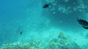 Beautiful underwater colorful fishes and corals in the tropical reef of the Red Sea Egypt. Colorful Tropical Coral Reefs. Picture of a beautiful underwater stock video footage