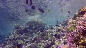 Beautiful underwater landscape with tropical fish and corals. Life coral reef. Egypt stock footage