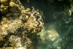 Beautiful underwater shell of mollusk Stock Image