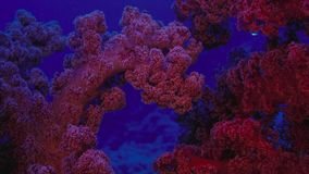 Beautiful underwater view with a red soft coral, fan. Healthy coral reef, with lots of schooling fishes, light and hard and soft royalty free stock image