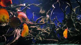 Beautiful underwater world with tropical fish. Wonderful and beautiful underwater world with corals and tropical fish stock video