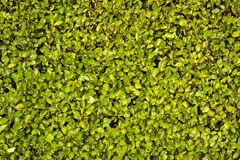 Uniform planting background of laurel Laurus nobilis hedge fence, Dublin, Ireland. Green plant background
