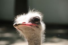 Beautiful and unique bird African ostrich stock photo