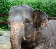 Beautiful unique elephant at an elephants conservation reservation in Bali Indonesia. Biggest animal taking a bath Royalty Free Stock Photography