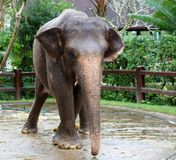Beautiful unique elephant at an elephants conservation reservation in Bali Indonesia. Biggest animal taking a bath Stock Photos