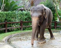 Beautiful unique elephant at an elephants conservation reservation in Bali Indonesia. Biggest animal taking a bath Stock Image