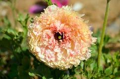 Beautiful Unique Flower. Unique Flower with a lot of Petals Stock Photos