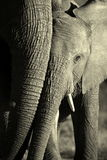 A beautiful unique monochrome close up of an African elephant Royalty Free Stock Photo