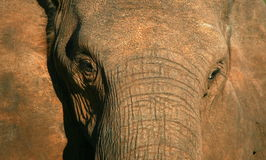 A beautiful unique monochrome close up of an African elephant Royalty Free Stock Image