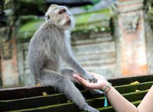 Beautiful unique portrait of monkey holding person hand at monkeys forest in Bali Indonesia, pretty wild animal. Beautiful unique monkey at monkeys forest in royalty free stock photos