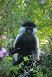 Beautiful and unusual clever monkey Colobus in Kenya. Africa stock images