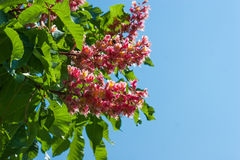 Beautiful unusual red chestnut tree flowers blossom Royalty Free Stock Photos
