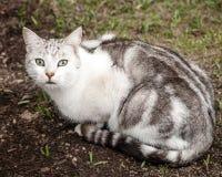 Beautiful Unusual White Grey Brown Tabby Cat Sitting in Yard. Beautiful and unusual looking white, grey and brown tabby cat sitting on dirt and grass in yard Stock Images