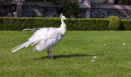 Beautiful and unusual white peacock Royalty Free Stock Images