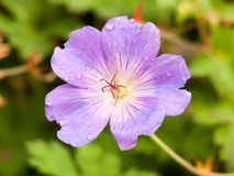 Beautiful up close pink purple Wild Geranium garden. Essex; England; UK royalty free stock image