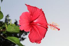 Beautiful up close of red hibiscus,hibiscus flower,hawaiian flowers,china rose,hibiscus plant,hibiscus tree. Hibiscus rosa sinensis flower royalty free stock photos