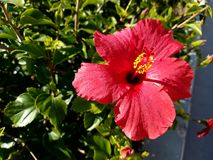 Beautiful up close of red yellow hibisuc 4k. Up close look at red yellow hibiscus 4k Stock Images