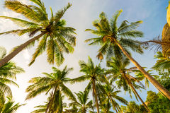 Beautiful uprisen angle view of coconut palm tree. Royalty Free Stock Photos