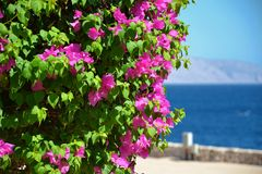 Tree with blooming pink flowers on the shore of the Red Sea close-up. A beautiful and useful form of relaxation on the water Stock Photos
