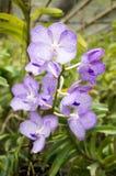 Beautiful Vanda Coerulea orchids in farm Royalty Free Stock Photos