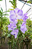 Beautiful Vanda Coerulea orchids in farm stock photos