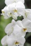 Beautiful Vanilla Orchid Stock Photo