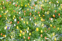 Beautiful varicolored tulips. Nature background. Stock Images